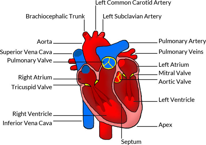 the human heart, Human Body