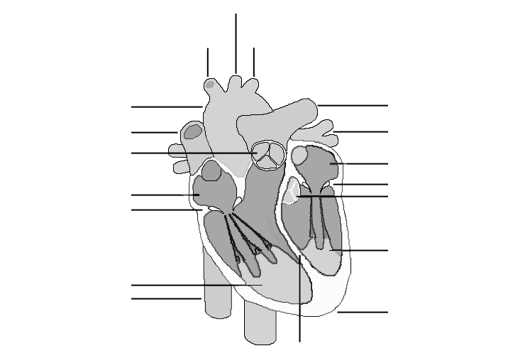 the human heart black and white without labels